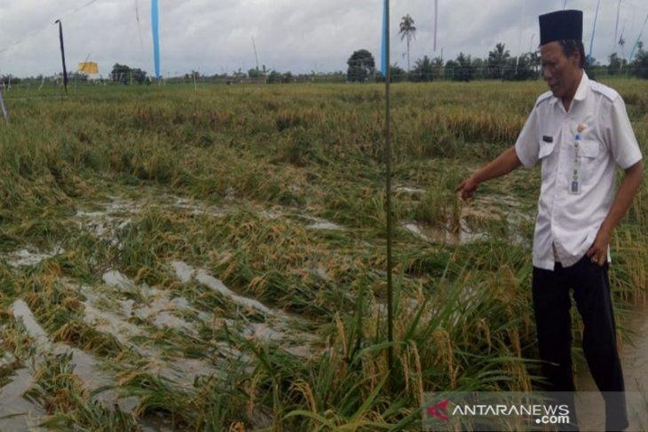 Produksi padi di Kotabaru terpengaruh banjir