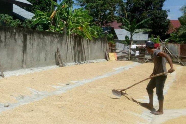 Harga gabah di Aceh Utara turun hingga Rp4.000 per kilogram