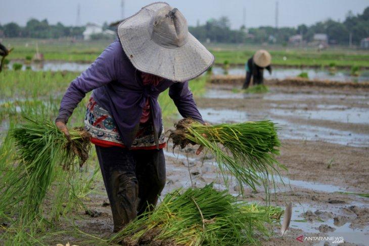 Petani Wondama berhenti tanam padi karena Biaya produksi tinggi