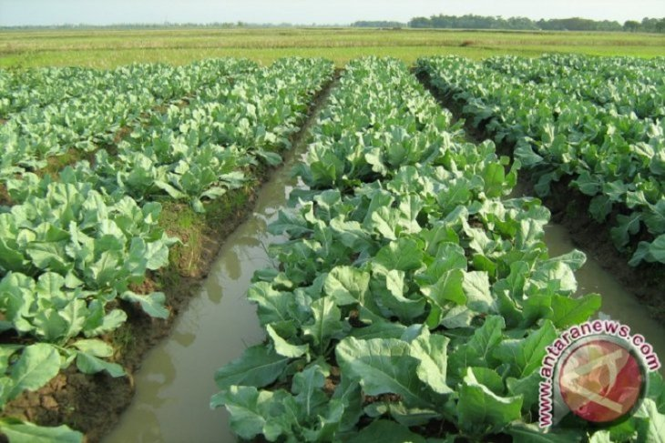 Pemkab Dairi  target 60 hektare lahan kubis