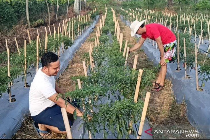 Pemuda di Meluar sukses optimalkan lahan kembangkan pertanian cabai