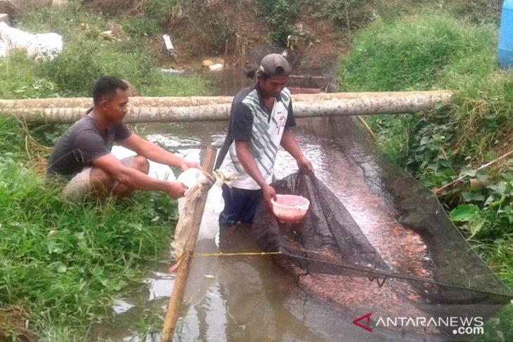 Benih ikan Belumai dipasarkan hingga Provinsi Jambi