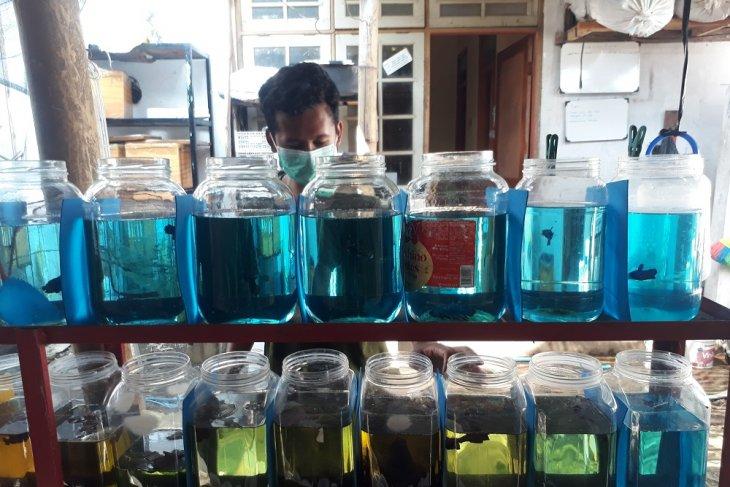 Remaja di Kota Kediri sukses budi daya ikan cupang beromzet jutaan rupiah