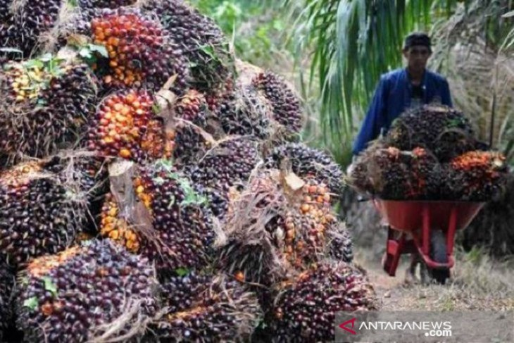 Jambi's CPO price falls Rp1,28/kg to Rp8,981/kg