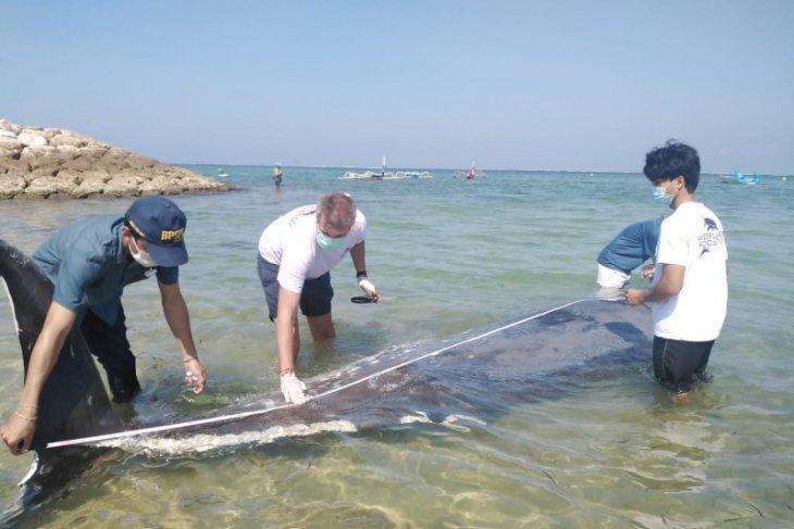Waduh dari perut paus terdampar di Bali ditemukan tali pancing