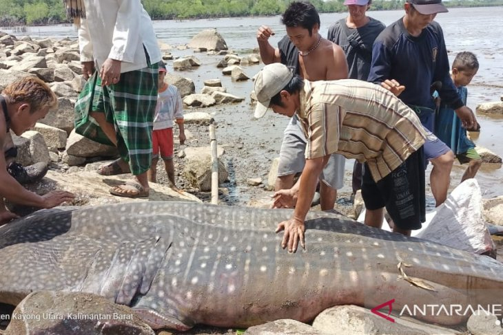Seekor Hiu Paus ditemukan warga terdampar di Pantai Kuari Kayong Utara