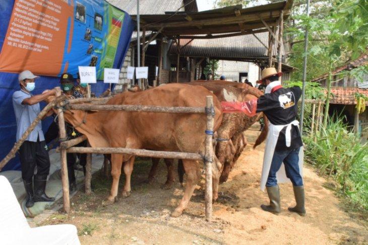 Lamongan kembangkan sapi
