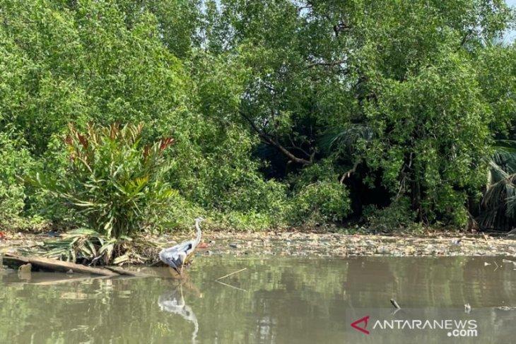 Kisah inspiratif Berjibaku pulihkan ekosistem mangrove Muara Angke