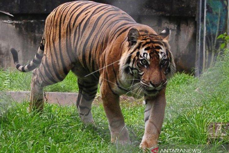 Seekor Harimau Sumatra masuki perkampungan di Siak