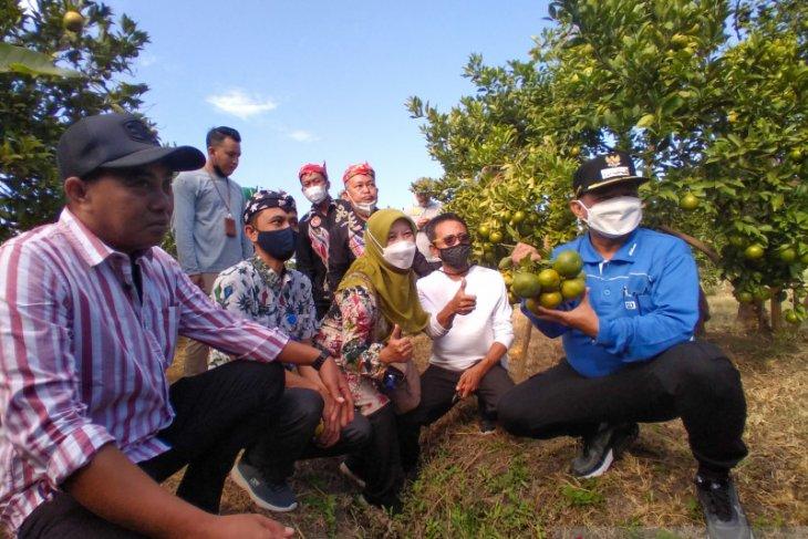 Bung Karna dorong petani Situbondo kembangkan agribisnis buah jeruk