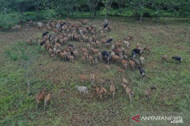 Kelompok tani Kukar manfaatkan lahan bekas tambang untuk budidaya sapi
