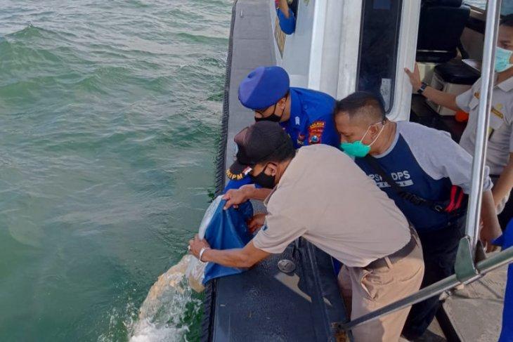 Balai KIPM Surabaya melepasliarkan 22.000 ekor benih bening lobster
