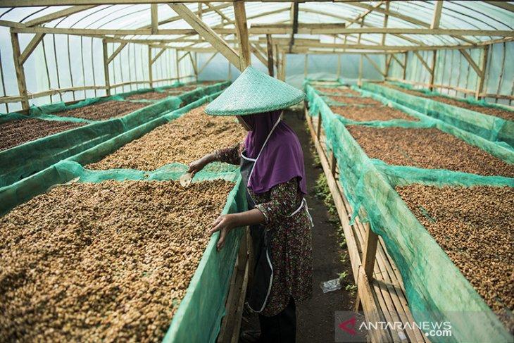 Produksi puntang kopi