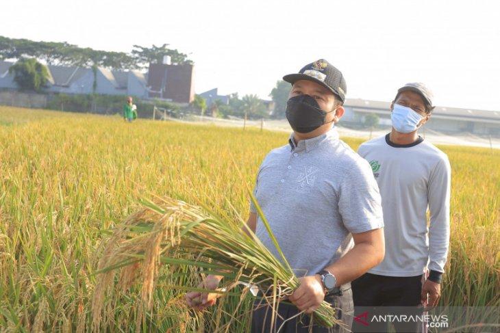 Wali Kota Arief apresiasi warga Batuceper panen padi di masa pandemi