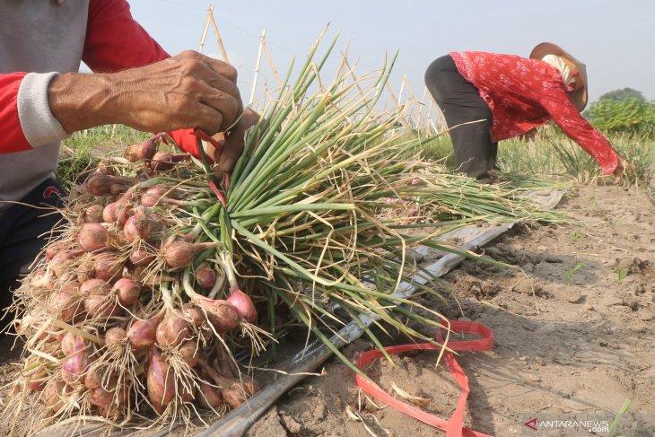 Petani Keluhkan Harga Bawang Merah