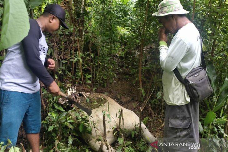 Harimau mangsa ternak warga Aceh Barat Daya