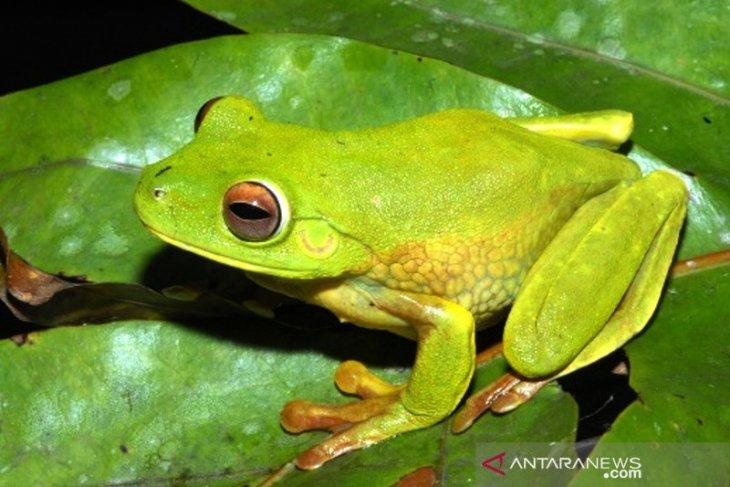 Ini Spesies katak baru ditemukan di area PT Freeport Indonesia