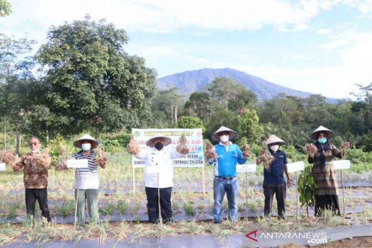 Bupati Tapsel panen perdana bawang merah bersama Karang Taruna