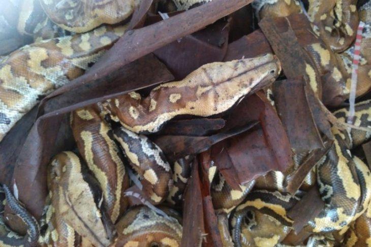 20 ular sanca gedang ditemukan di kenjang buah hendak diselundupkan ke Jawa