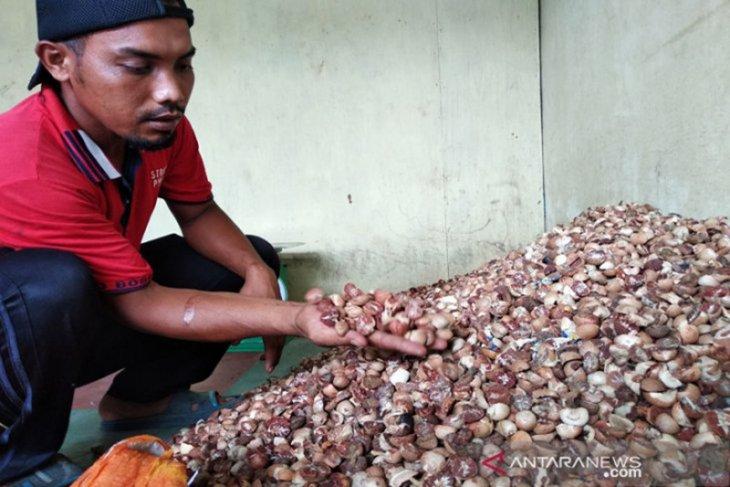 Harga biji pinang kering di Abdya capai Rp22 ribu per kilogram