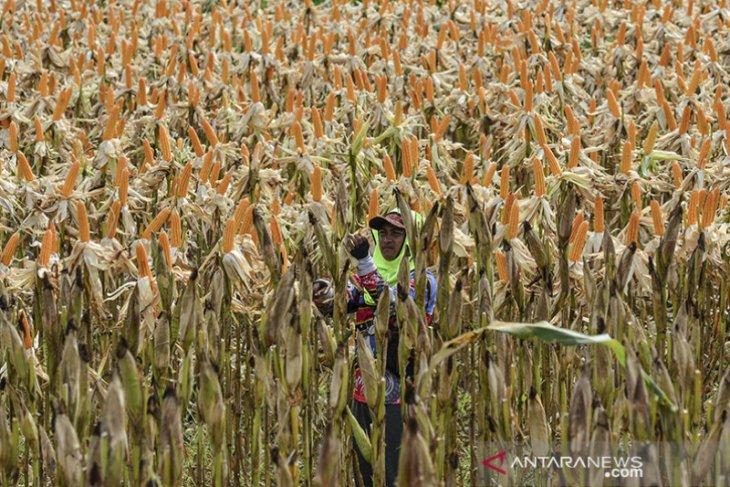 Target produksi jagung nasional