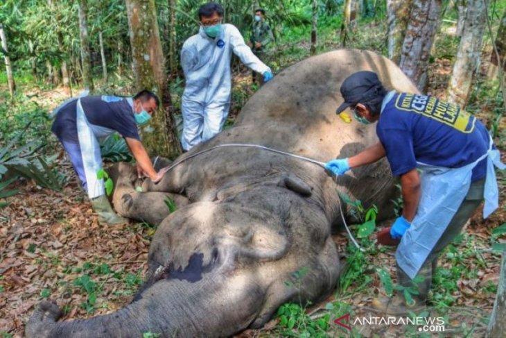 Gajah betina ditemukan mati di kebun warga