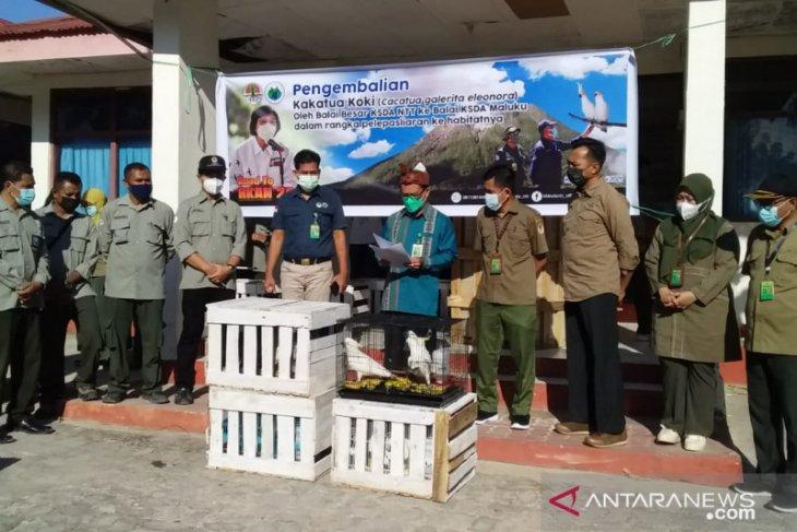 BBKSDA NTT kembalikan 23 ekor kakatua koki ke Maluku semoga semuanya sehat