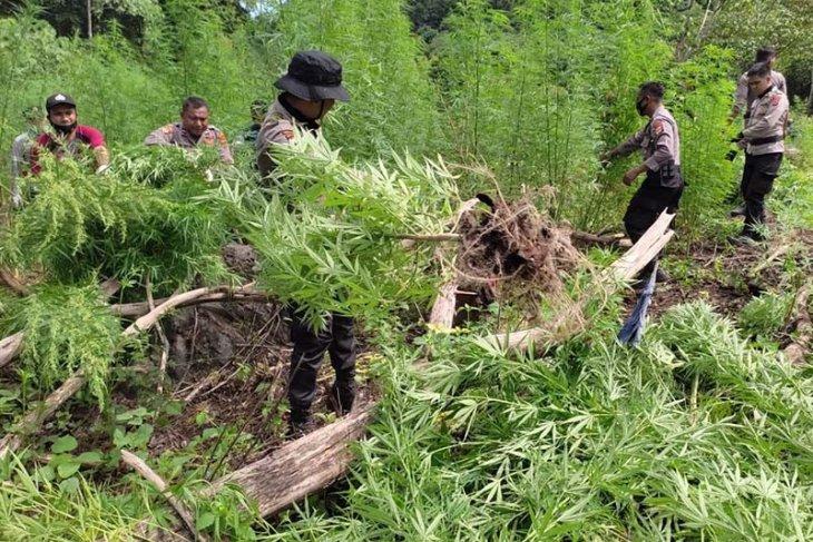 BNN musnahkan dua hektare ladang ganja di Aceh Besar