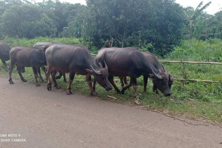 Belajar dari Lebak daerah dimana ternak kerbau jadi andalan ekonomi warga