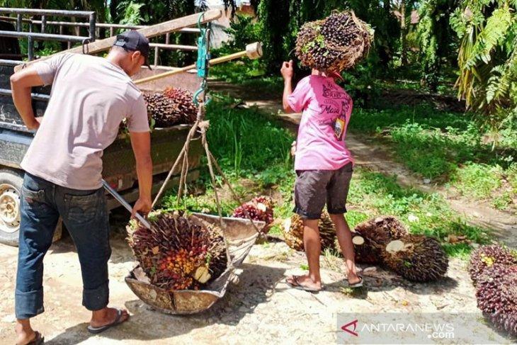 Harga buah sawit di Mukomuko turun Rp50/kg