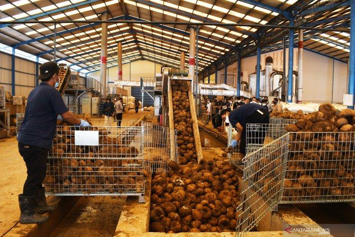 Pabrik Pengolahan Porang di Madiun