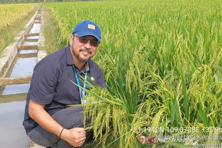 Pengembangan padi khusus di Kalbar mencapai 715 hektare