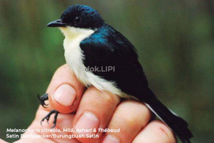 LIPI temukan 'Satin' jenis baru Burungbuah di Papua Barat