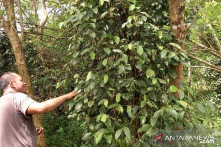 Harga lada putih di Belitung turun menjadi Rp69 ribu per kilogram