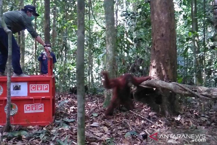 COP-BKSDA Kaltim lepas liarkan orangutan  di Sungai Lesan