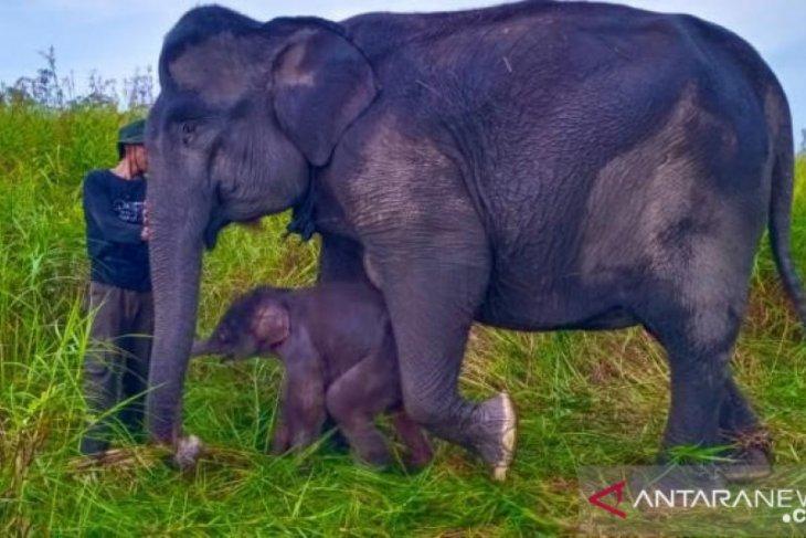 Anak gajah sumatera lahir di Suaka Margasatwa Padang Sugihan Sumsel