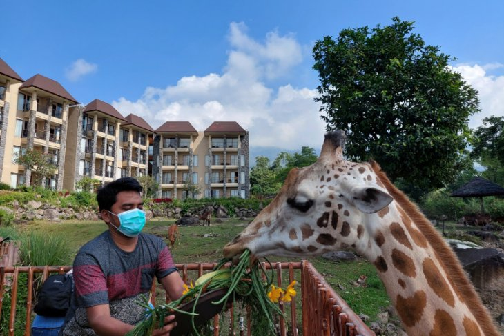 World Giraffe Day,  jerapah Baobab Safari Resort-Taman Safari Prigen diberi tumpeng