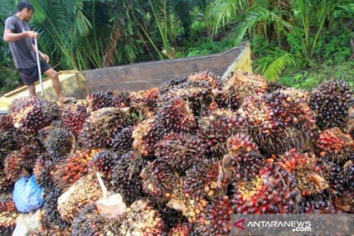 Harga kelapa sawit di Belitung naik menjadi Rp2.375 per kilogram