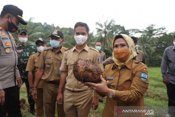 Porang Kabupaten Serang siap masuk ekspor