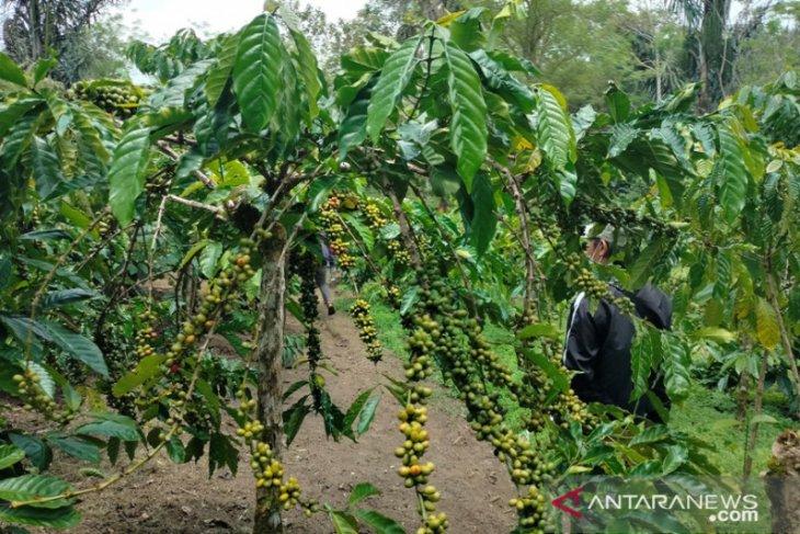 Petani Rejang Lebong kembangkan kopi sambung pucuk
