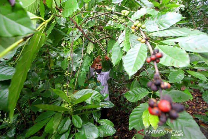 Petani Pemkab Banjar siap kembangkan kopi Aranio
