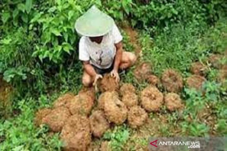 Pemprov Bengkulu kembangkan porang sebagai tanaman sela