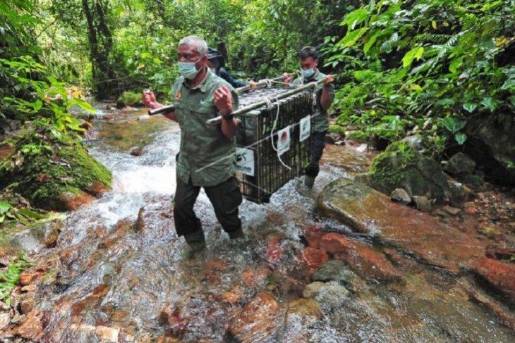 Pelepasliaran satwa di Taman Nasional Kerinci Seblat