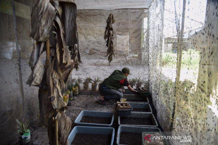 Maggot solusi urai sampah organik yang miliki nilai ekonomis