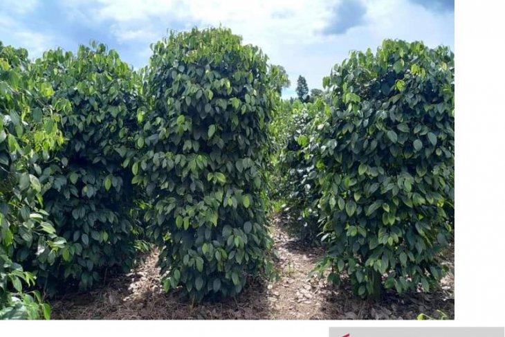 Petani di Kabupaten Belitung diimbau jual lada ketika harga stabil