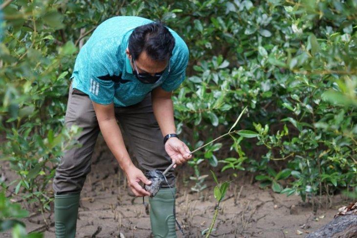 Jasa Raharja tanam 1.800 bibit mangrove di Mempawah