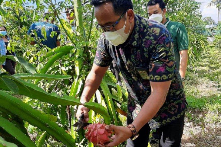 Listrik PLN tingkatkan produktivitas perkebunan buah naga di Gianyar