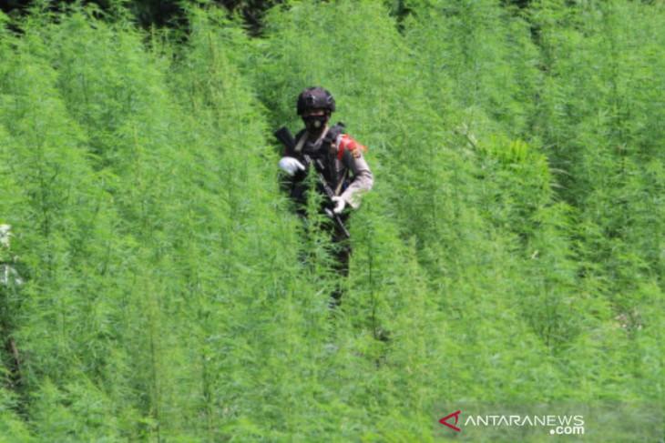 Polisi temukan 5 hektare ladang ganja di Nagan Raya Aceh