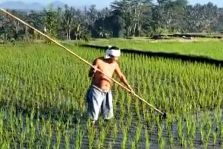 Petani Bali akui mudah dapatkan asuransi pertanian