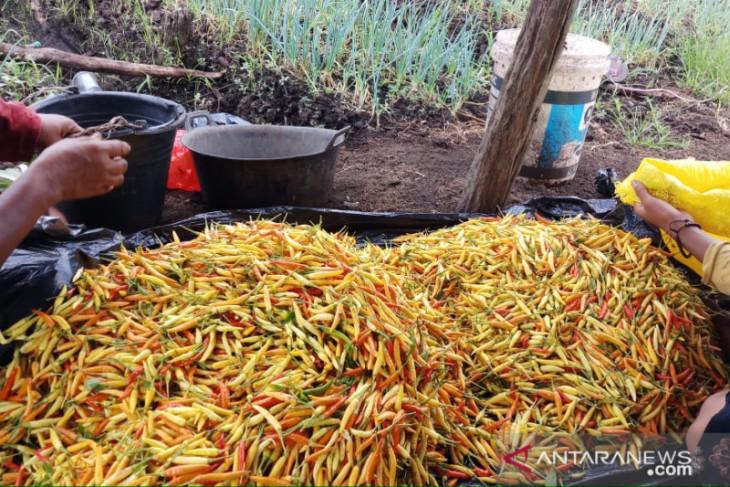 Kabupaten Kayong Utara produsen terbesar cabai rawit Kalbar